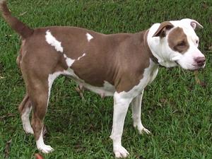Cachorra disponível para adoção no Canil de São Carlos (Foto: Divulgação)