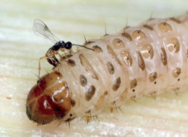 O controle natural de pragas é feito com insetos parasitas. Na imagem, a vespa flavipes parasita a broca-da-cana. (Foto: Divulgação / BUG / Heraldo Negri)