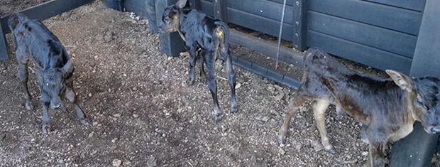 Segundo veterinário, o nascimento de bezerros trigêmeos é raro.  (Foto: Rafael Venson / Arquivo Pessoal)