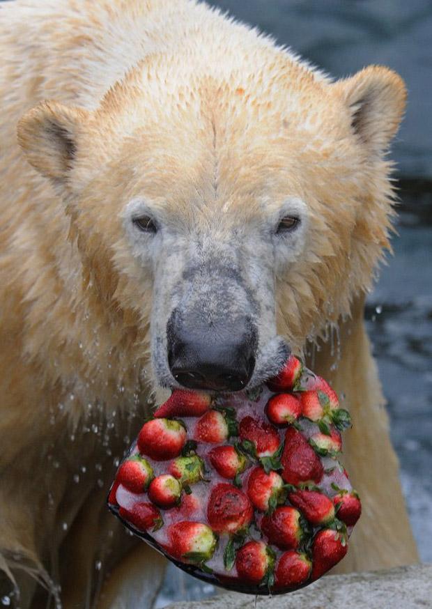 O urso polar Arktos ganhou de presente um bolo gelado de morango, em forma de coração, no zoológico de Hannover, Alemanha. O doce de fruta foi abocanhado de uma só vez pelo animal. (Foto: AFP Photo / Holger Hollemann Germany Out)