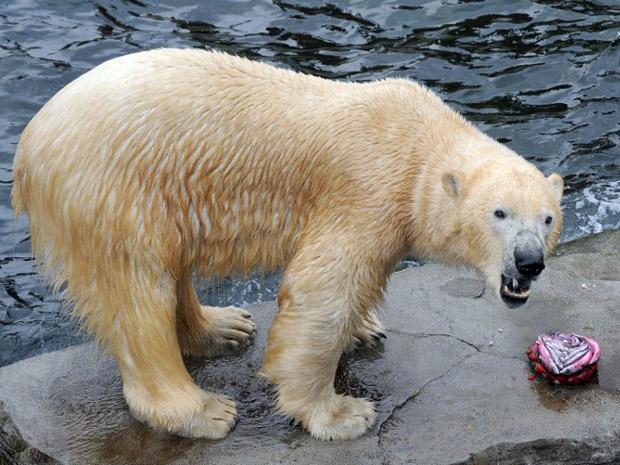 Depois de dois anos no zoológico de Hannover, Arktos vai fazer uma viagem especial para o Parque de Vida Selvagem de Shotland, onde vai encontrar uma ursa polar. (Foto: AFP Photo / Holger Hollemann Germany Out)