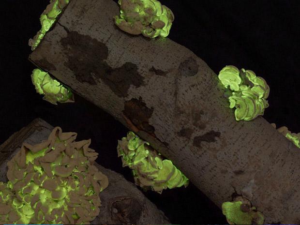 Estes fungos crescem em madeiras em decomposição dos bosques e florestas da América do Norte.  (Foto: AMNH J.Sparks )