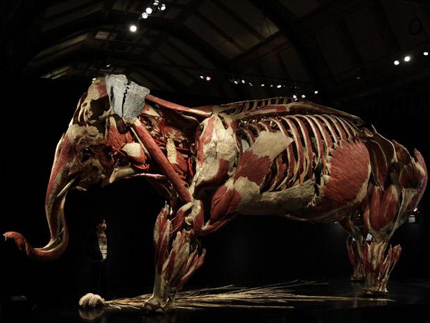 Garota observa a anatomia de um elefante na exposição Animal Virado do Avesso (Animal Inside Out, em inglês), que ocorre no Museu de História Natural de Londres, Inglaterra. (Foto: Reuters / Stefan Wermuth)