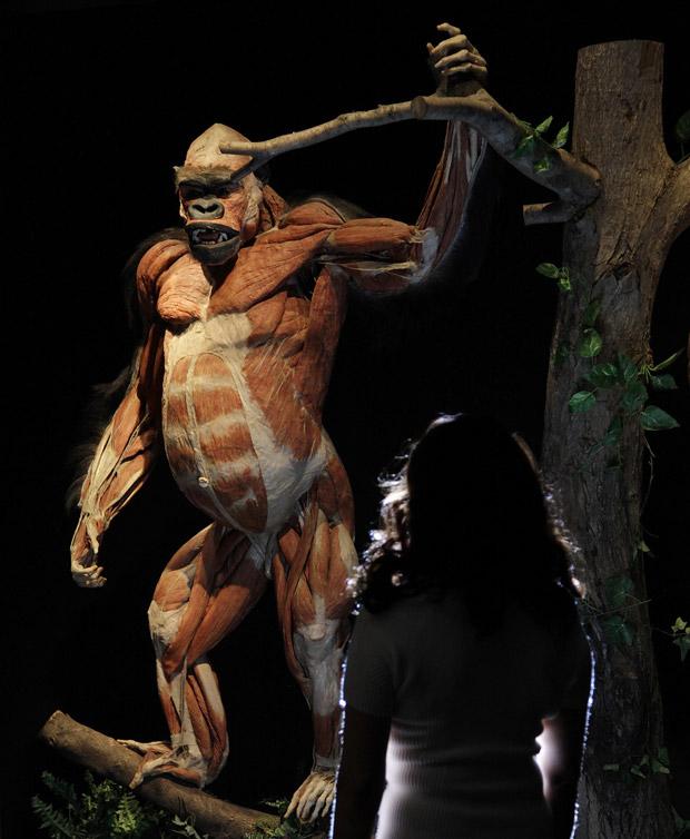Funcionária da exposição observa um gorila dissecado. (Foto: Reuters / Stefan Wermuth)