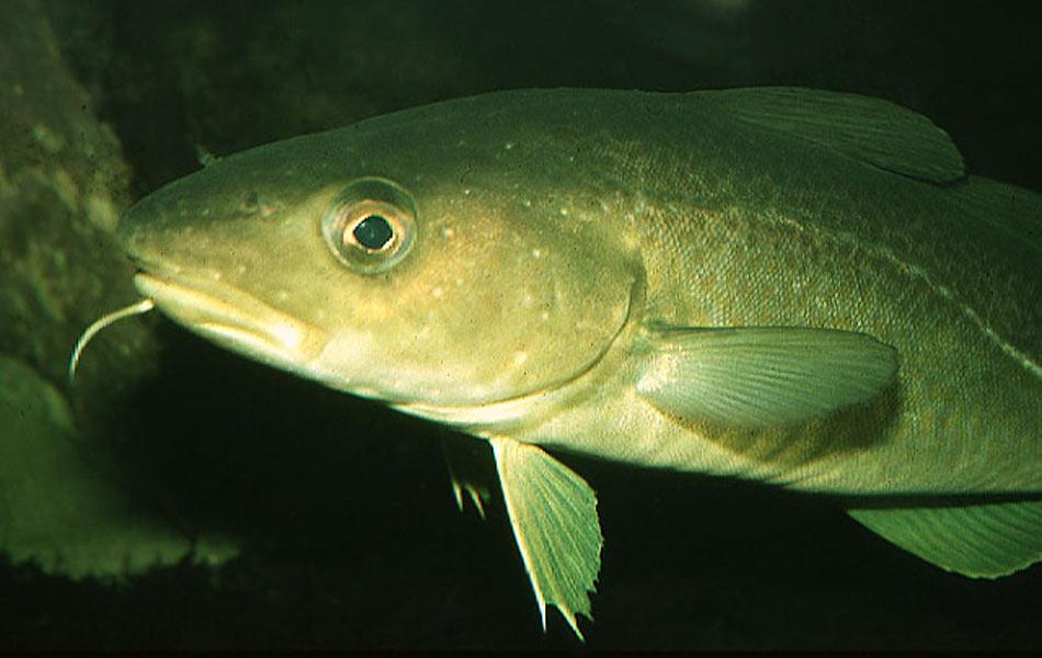 bacalhau (Foto: Divulgação/Moreau Fishbase)