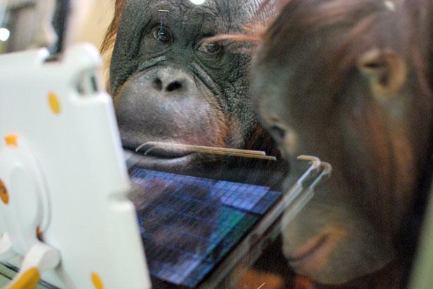 Orangotangos usam iPad para se comunicar com macacos de outros zoológicos (Foto: Mira Oberman/AFP)