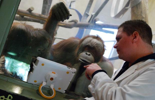Objetivo do projeto é desenvolver a inteligências dos orangotangos (Foto: Mira Oberman/AFP)