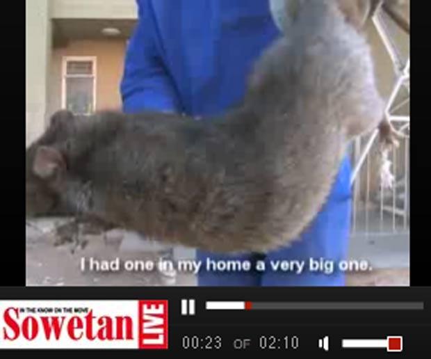 Alguns ratos são do tamanho de gatos. (Foto: Reprodução)