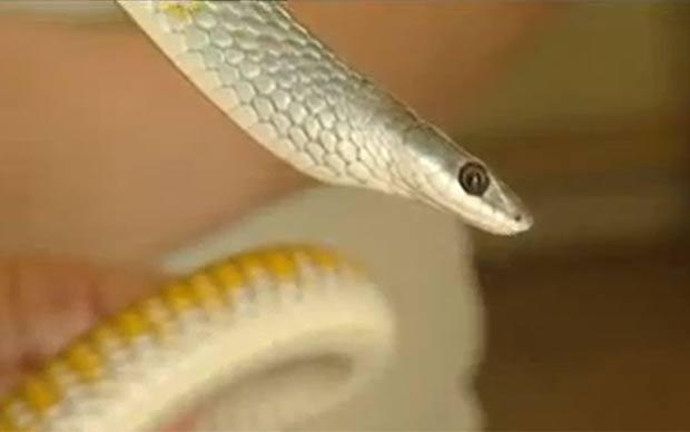 Piloto se assustou, pois não sabia se a cobra era venenosa. (Foto: Reprodução)