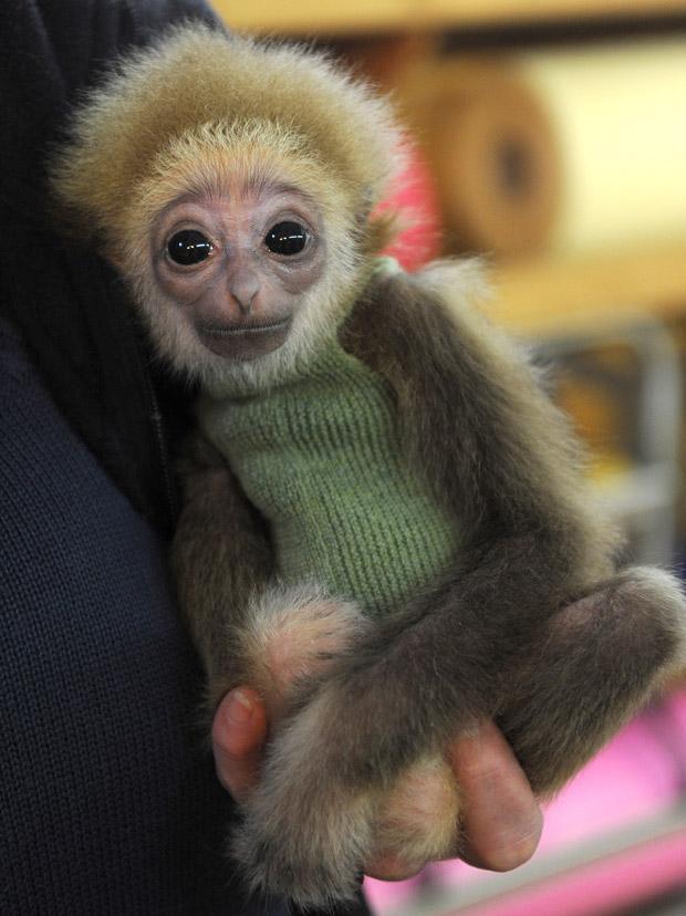 Knyppy, um filhote de gibão de mão branca com apenas três meses, vestiu uma pequena blusa de lã verde em um zoológico na Alemanha e foi alimentado com uma mamadeira. A espécie é encontrada na Indonésia, Laos, Malásia, Tailândia e Miamar.  (Foto: AFP Photo / Ingo Wagner)