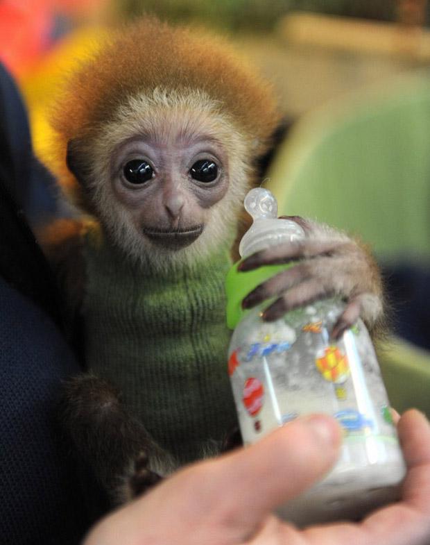Knyppy também foi alimentado com mamadeira pela equipe do zoológico de Bremen. (Foto: AFP Photo / Ingo Wagner)