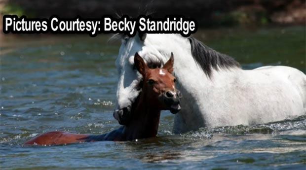 Resultado de imagem para Americana flagra cavalo selvagem salvando outro de afogamento em rio fotos