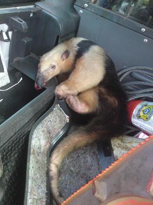 Animal apresentava um corte profundo no nariz. (Foto: Divulgação/PRF)