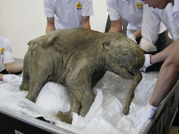 Mamute Lyuba é exposto em Hong Kong (Foto: AP Photo/Kin Cheung)