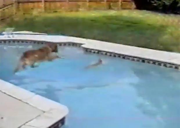 Cadela salta em uma piscina para salvar um filhote do afogamento. (Foto: Reprodução/YouTube)