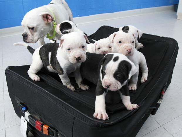 Um homem foi processado após abandonar seis filhotes de cão dentro de uma mochila fechada em Maumee, Ohio.  Ele foi descoberto porque esqueceu uma etiqueta de bagagem com seus contatos na mochila.  Os cães haviam sido abandonados em frente a uma loja, próximo a uma lata de lixo.  As autoridades disseram que ele estava de mudança da cidade e, como não conseguiu vender os cães, resolveu abanadoná-los.  Pedestres ouviram o barulhos dos cães e os tiraram da mochila, chamando depois as autoridades.  Os seis filhotes de buldogue inglês e sua mãe foram recolhidos pela sociedade protetora dos animais da região de Toledo e passam bem. (Foto: AP)