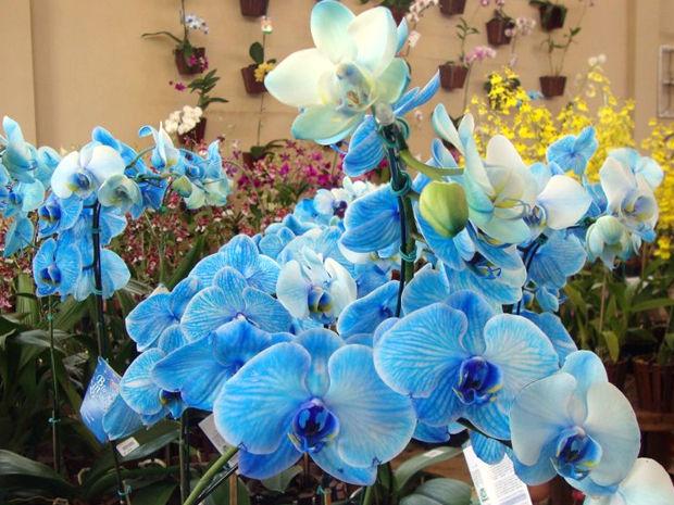 orquídea azul (Foto: Divulgação)