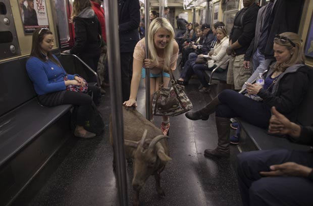 Cabra passeia de metrô em Nova York. (Foto: Allison Joyce/Reuters)