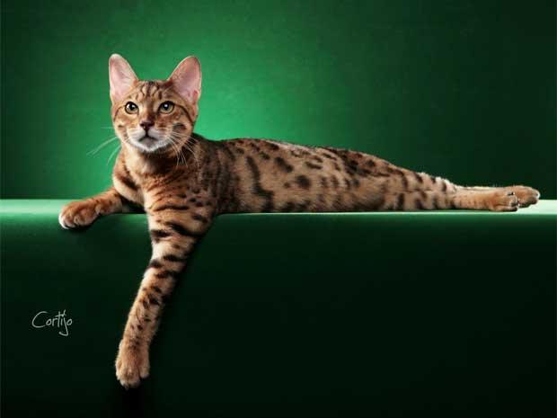 A Expo Gatos 2012 apresenta ao público raças exóticas de felinos em Vinhedo, SP (Foto: Acervo AMACOON/ Manuel Cortijo)