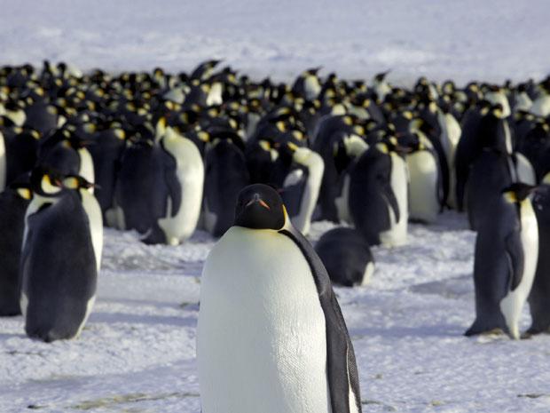 Pinguim imperador deve ser atingido pela mudança climática (Foto: Reuters/Martin Passingham)