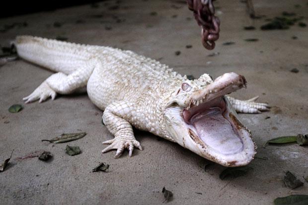 Crocodilos albinos (Foto: Charly Triballeau/AFP)