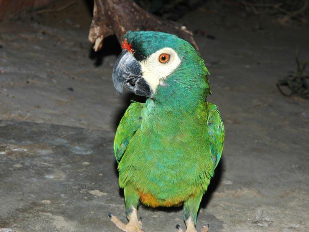 Exemplar de arara-maracanã-verdadeira. Espécie pode desaparecer da Caatinga devido ao desmatamento e à caça. (Foto: Divulgação)