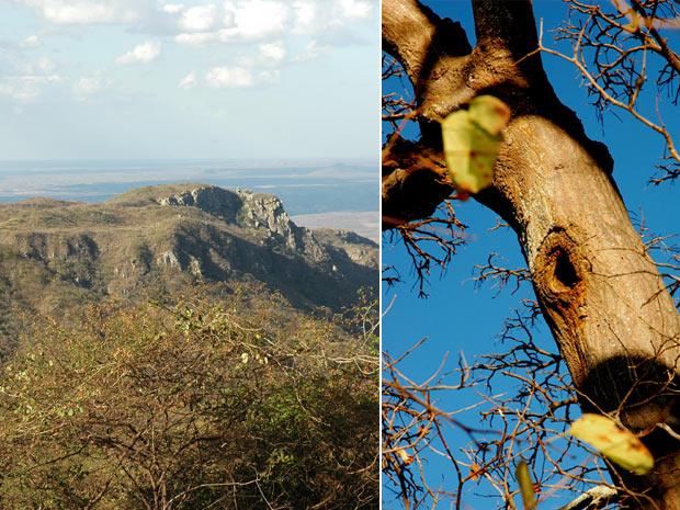 À esquerda, visão da Caatinga, bioma que abrange todo o Nordeste e parte de Minas Gerais. À direita, árvore mulungu, onde a arara-maracanã utilizada para reprodução. (Foto: Divulgação)