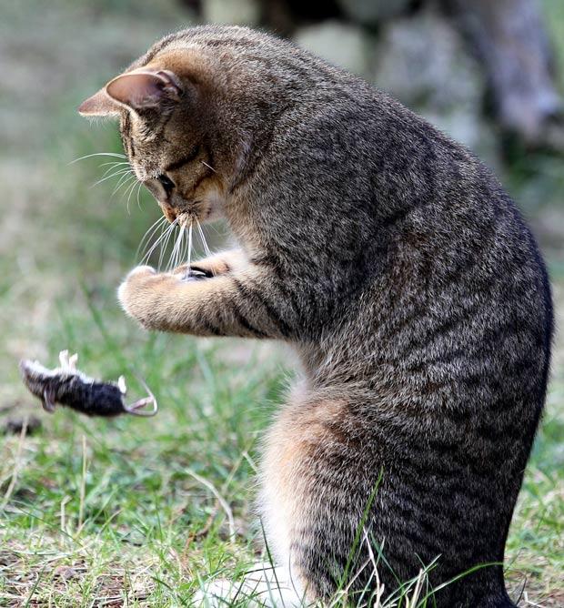 Gato foi flagrado 'brincando' com rato no jardim de uma casa em Berlim. (Foto: Wolfgang Kumm/AFP)