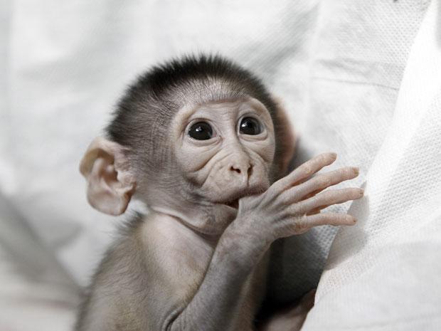 Loango, macaco mangabei nascido em zoológico francês (Foto: AFP Photo/Kenzo Tibouillard)