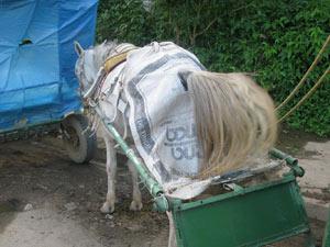 Alguns charreteiros colocam pedaços de lona atrás dos cavalos para conter as fewzes dos animais (Foto: Daniel Fraiha/G1)