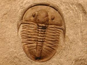 Trilobita do período cambriano, com a casca feita de carbonato de cálcio (Foto: Shanan Peters/Divulgação)