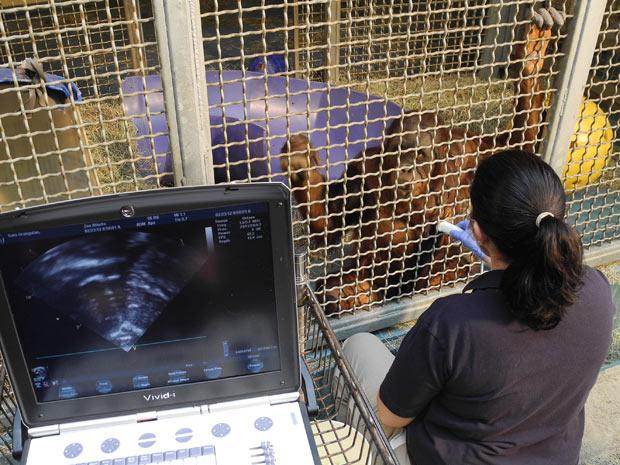 Funcionária do zoológico de Atlanta, nos EUA, faz exame cardíaco em orangotango de nove anos batizado de Satu. (Foto: Dorie Turner/AP)