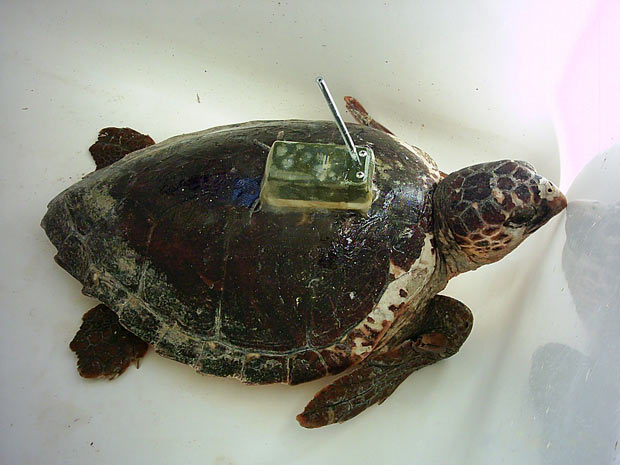 Tartaruga cabeçuda com o transmissor de satélite acoplado em seu casco. (Foto: UB)