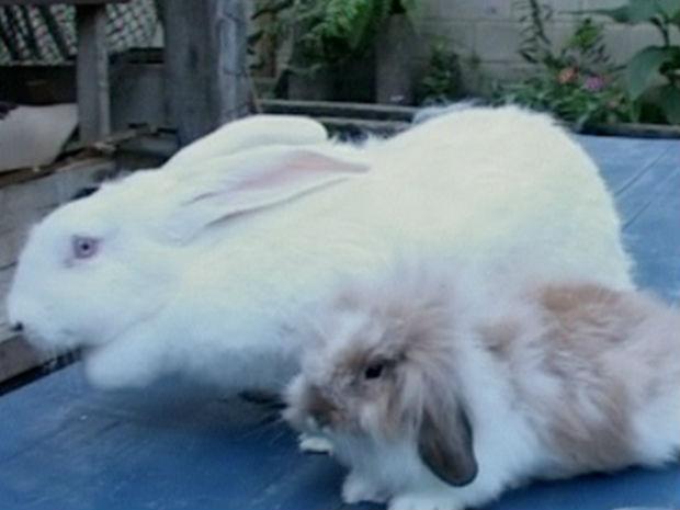 Coelho 'gigante' próximo ao lado de um coelho normal (Foto: Reprodução/TV Gazeta Sul)