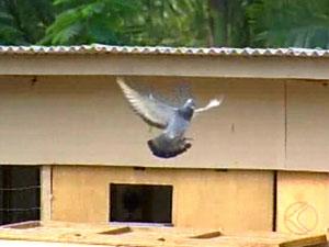 Pombo de Nova Serrana, MG, vence concurso (Foto: Reprodução/ Tv Integração)