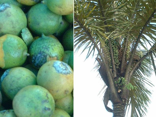À esquerda, o fruto tucumã, encontrado em abundância nas cidades da Região Metropolitana de Manaus (AM). À direita, a palmeira de mesmo nome. (Foto: Divulgação)