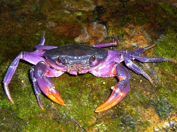 Caranguejo roxo descoberto nas Filipinas (Foto: AFP Photo/Hendrik Freitag/Museu de Zoologia Senckenberg)