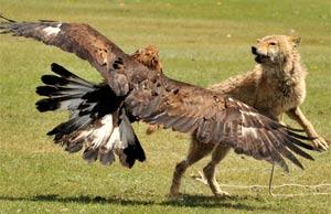 Na foto, águia ataca lobo no Quirguistão.  (Foto: Vyacheslav Oseledko/AFP)