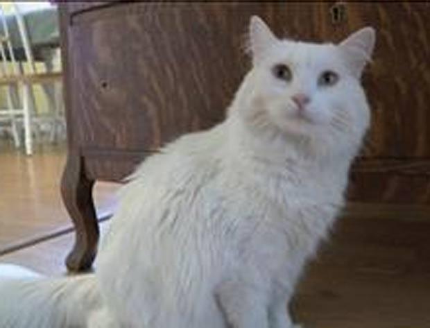 mulher encontrou 'Miles' e o levou a um veterinário, que descobriu que o gato tinha um microchip de identificação. (Foto: Reprodução)