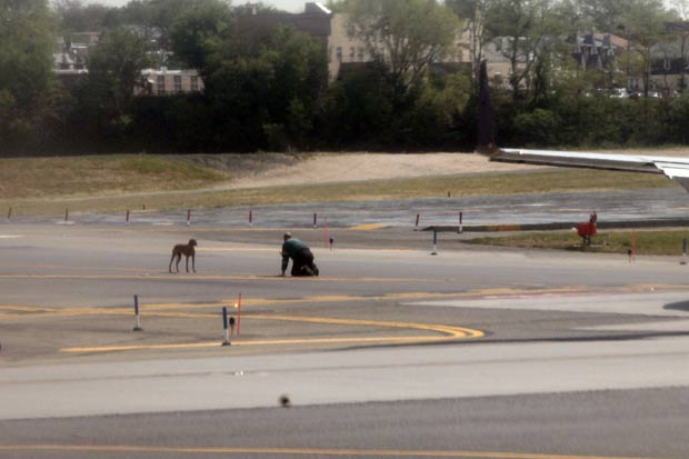 Homem tenta capturar cão que fugiu de gaiola no aeroporto de LaGuardia. (Foto: Spencer Platt/Getty Images/AFP )