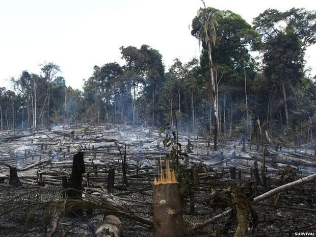 Mas durante o dia, o desmatamento prossegue. Calcula-se que quase um terço das terras Awá foi tomado em operações ilegais.  (Foto: Survival/BBC)