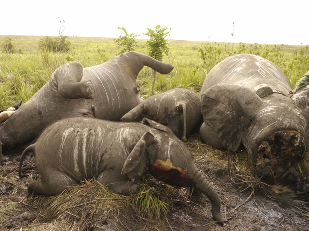 Carcaças de elefantes mortos por traficantes de marfim na República Democrática do Congo (Foto: Reuters/DRC Military/Divulgação)