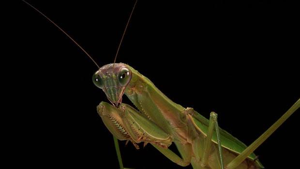 Louva-a-deus macho têm comportamento alterado se reduzem o relacionamento com fêmeas. (Foto: Divulgação/Phil Hastings)