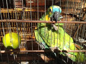 Papagaio apreendido em João Pessoa  (Foto: Walter Paparazzo/G1)