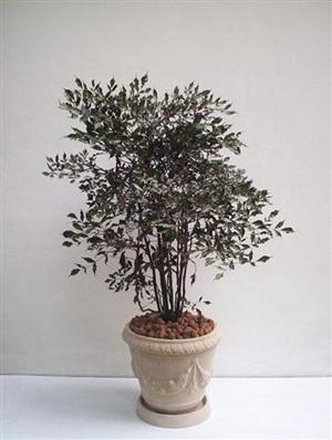 Planta é rica em ceiva e fica na sombra (Foto: Divulgação)