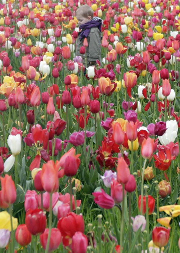 """A Holanda e a região de Flandres, no norte da Bélgica, celebram 2012 como o """"Ano da Tulipa"""", e o ato na cidade belga faz parte das comemorações. (Foto: Virginia Mayo/AP)"""