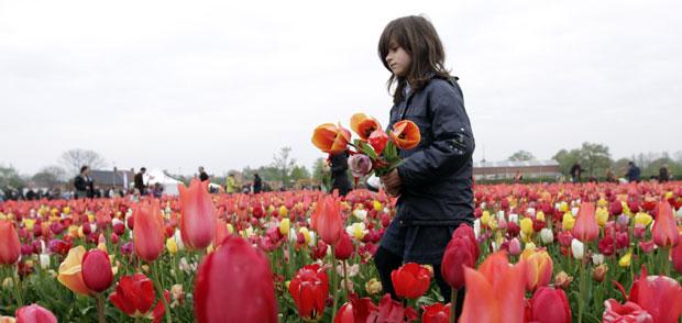 Moradores e visitantes da cidade de Berenndrecht, na Bélgica, foram convidados a colher tulipas plantadas em um campo pela prefeitura. (Foto: Virginia Mayo/AP)