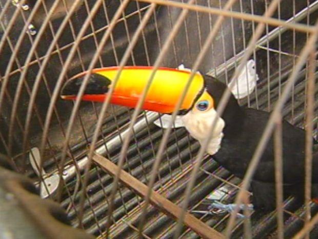 O tucano foi encontrado em uma casa na região central e pode ter fugido de cativeiro.  (Foto: reprodução/TV Tem)