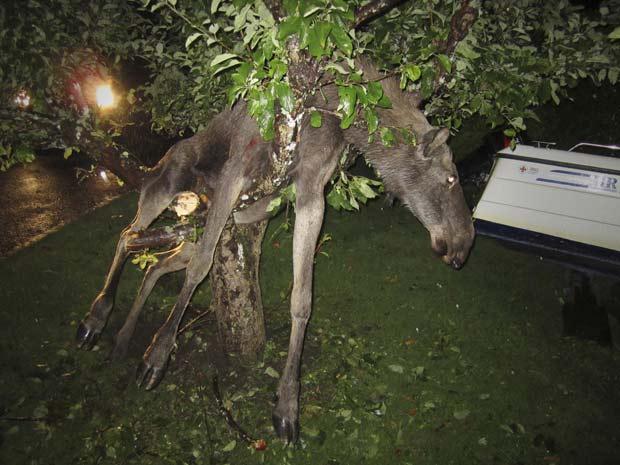 Em setembro de 2011, um alce ficou entalado em uma árvore na cidade de Gotemburgo, na Suécia, após aparentemente ficar bêbado ao comer maçãs fermentadas. (Foto: Per Johansson/AP)
