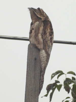 A rare urutau bird photographed sitting atop a pole in Central-West Brazil in a 'cloaking' position